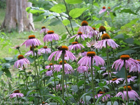 Echinacea is a beautiful, hardy, no maintenance, long blooming, perennial medicinal herb - FarmgirlFare.com
