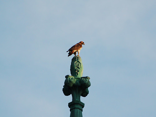 Isolde the Red-Tail