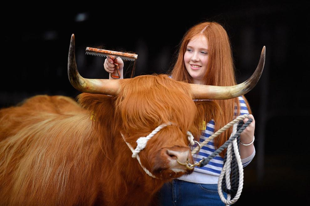 Хозяйка со своей коровой в Эдинбурге, Шотландия