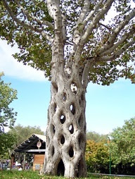 6 Sycamores were shaped, bent, and braided to form this tree