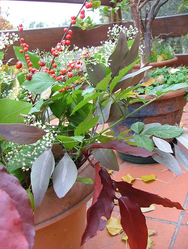 eucalipto, bignonia