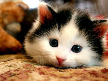 gambar kucing imut  lucu ayeeycom