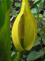 Dangerously close to a skunk cabbage blossom