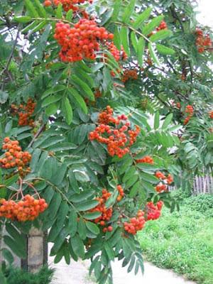 Лекарственные растения Рябина обыкновенная