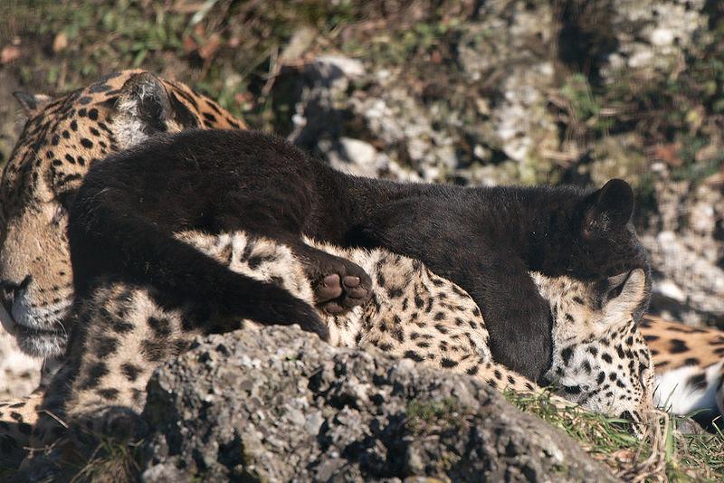 File:Panthera onca zoo Salzburg 2009 02.jpg