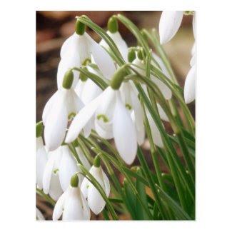 Stunning Spring Snowdrops