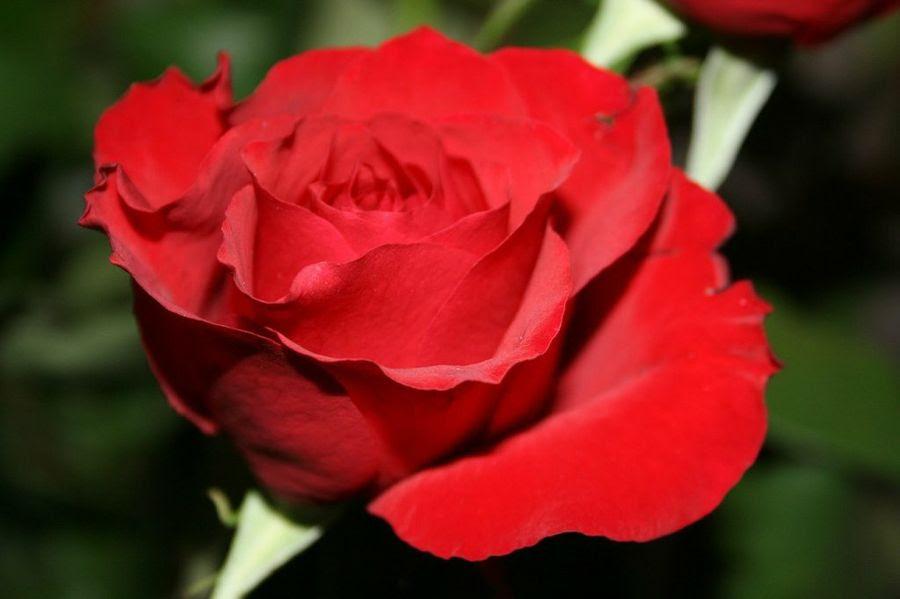 Significado De La Rosa Roja Plantas