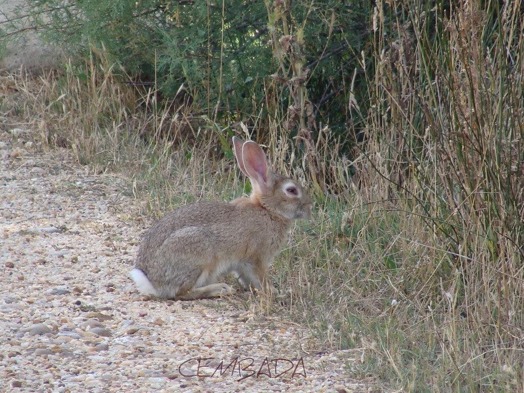 Conejo de Villafafila