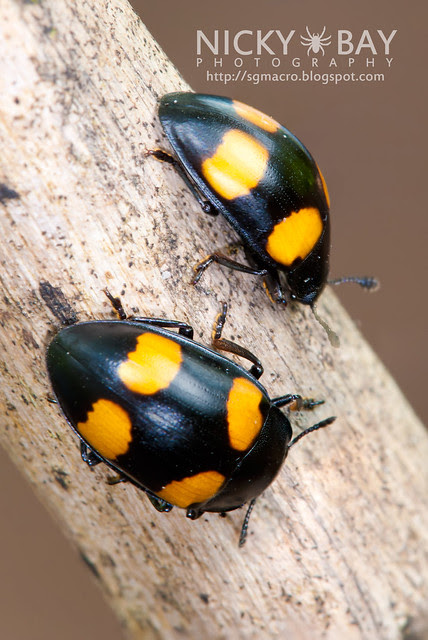 Four Spotted Fungus Beetle - DSC_1571