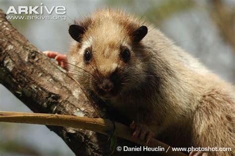 Northern Luzon shrew rat