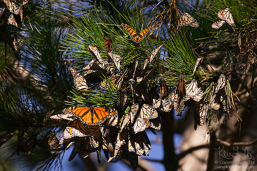 Monarch Butterflies Resting in Tree, Pacific Grove, California