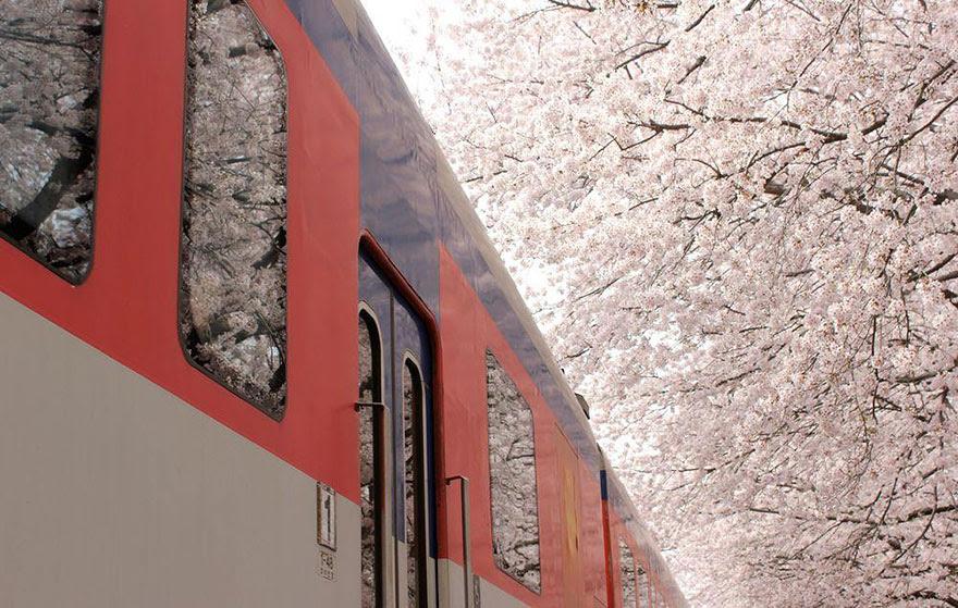 primavera-flores-cerezo-sakura-japon-national-geographic (5)