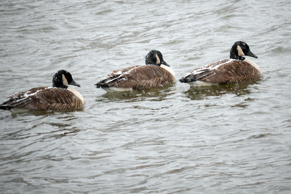 Ed Gaillard: birds &emdash; Geese in snow, Randall's Island