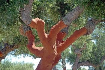 O sobreiro é uma árvore protegida por lei