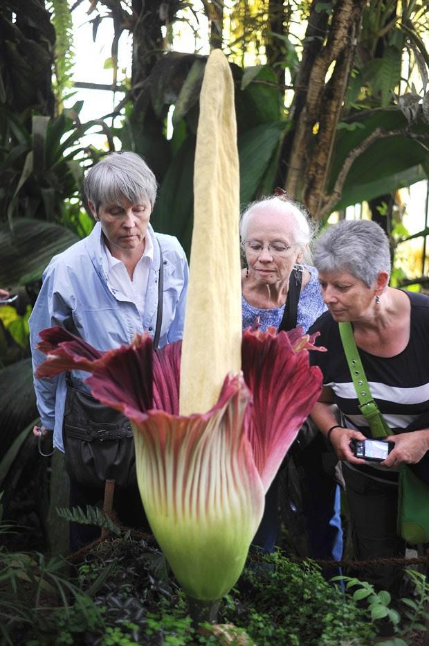 Mulheres examinam flor-cadáver, que abriu em jardim botânico de Nantes nesta segunda-feira (30) (Foto: AFP Photo/Jean-Sebastien Evrard)