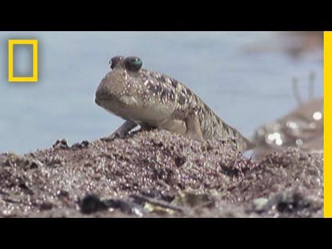 video que muestra a un pez que camina fuera del agua