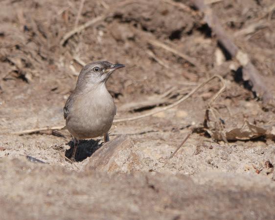 Ed Gaillard: birds &emdash; Northern Mockingbird, Central Park