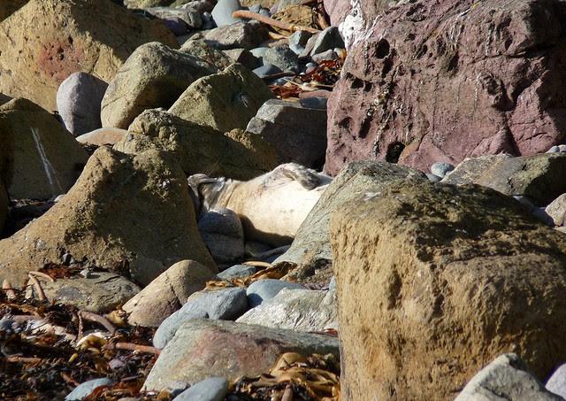 25264 - Seal Pup, Porthlysgi Bay