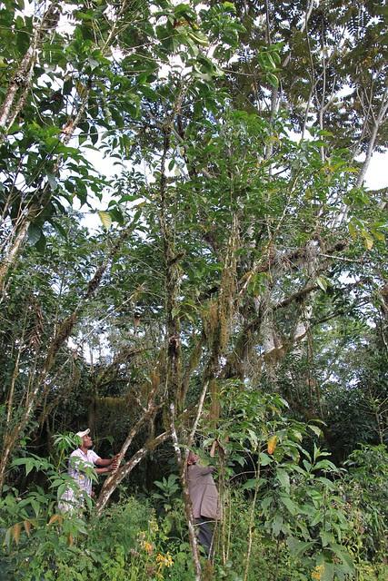 10 meter tall coffee tree!