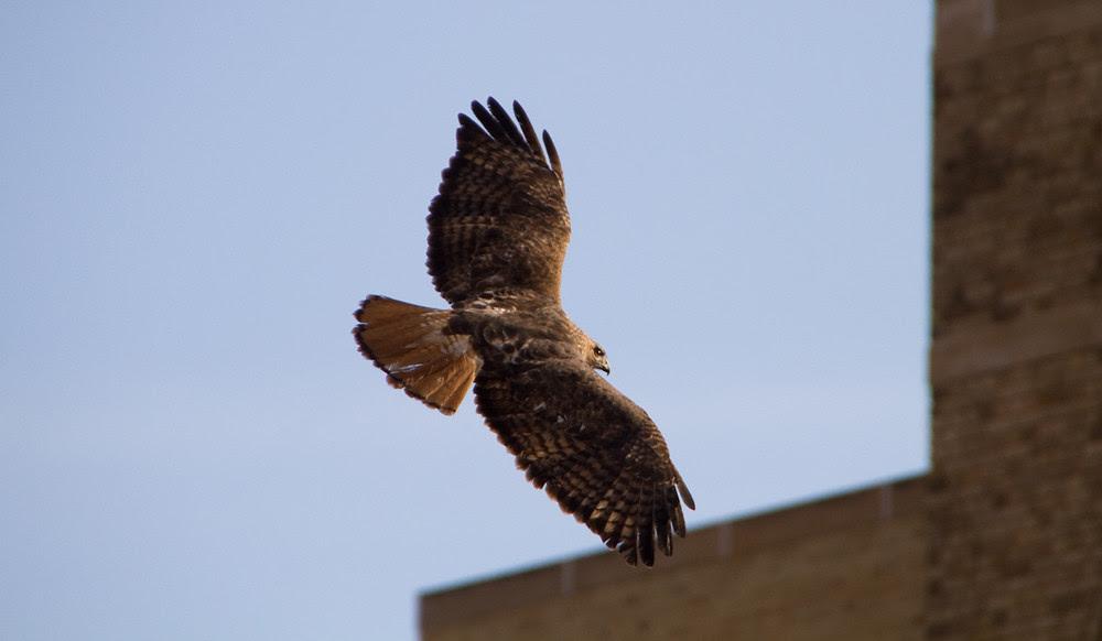 Free_Ferocious_Hawk