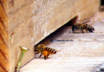 オレンジの花粉をつけたニホンミツバチ