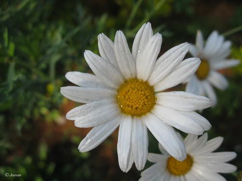 Daisy beauty
