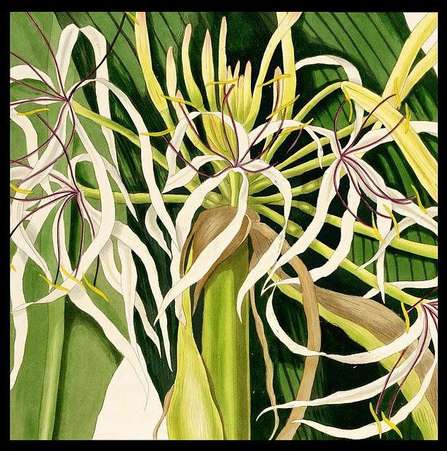 Crinum species sketch