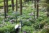 夏天的京都,從三室戶寺的紫陽花開始....