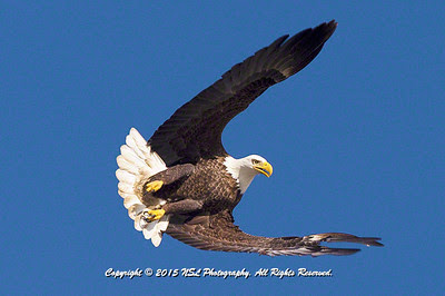 Adult bald eagle at the Conowingo Dam