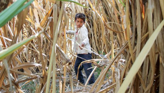 A 13-year-old child labourer cuts sugarcane on a Kampong Speu ELC in 2014.