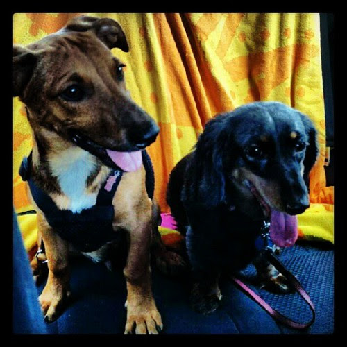 #foster #puppy Boo and his new sister Britta on their #carride home. #adoptdontshop #rescue #foreverhome #dogs #bittersweet