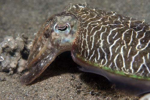 Cuttlefish face