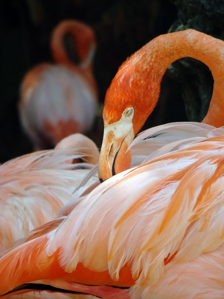 DSC06445 greater flamingo Audubon Zoo