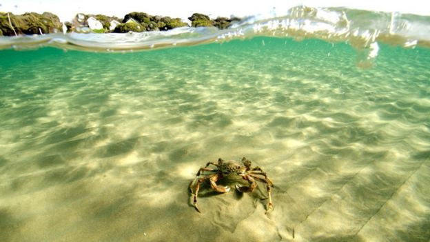 Spider crab on its own in waters off Melbourne