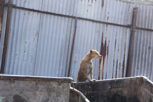 he is the k9 don in my area ,, his bark is worse than his bite by firoze shakir photographerno1
