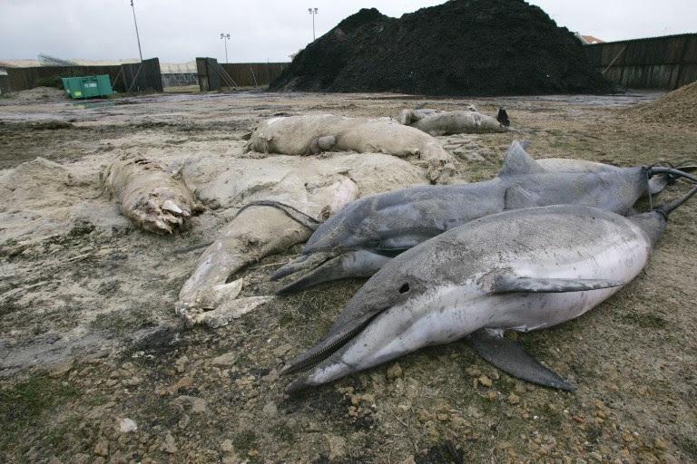 ο θάνατος των δελφινιών της Γαλλίας, τα δελφίνια πεθαίνουν στην ατλαντική ακτή της Γαλλίας, η γαλλική ατλαντική δελφίνια πεθαίνουν