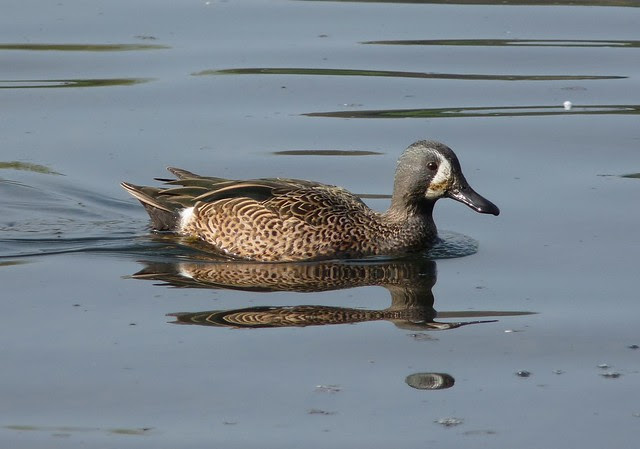 24071 - Blue Winged Teal, Sandy Water Park, Llanelli