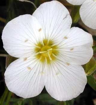 Flores Blancas Pequenas Dibujo
