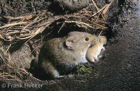 Rodents Image and Rongeurs vivants Cobayes BAT