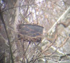 Great horned owl nesting 012908
