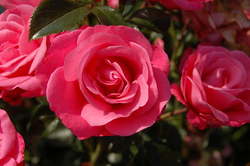 File:Bella Rosa (Kordes 1981).JPG