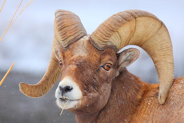 IMG_5100 Bighorn Sheep Ram, Yellowstone National Park