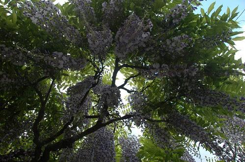 Wisteria, Osborne Garden, Brooklyn Botanic Garden