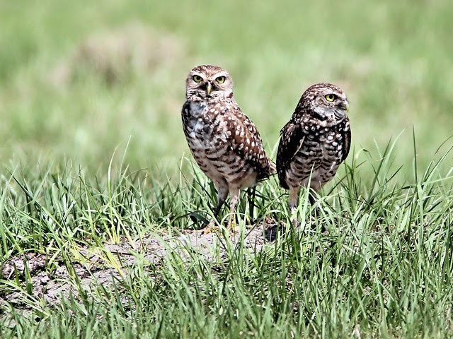 Burrowing Owls 20130414