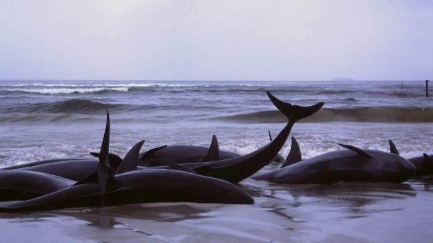 False killer whales beached in Flinders Bay, Australia (Credit: Bahnfrend, CC by 3.0)