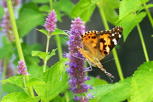 Painted Lady butterfly on Anise Hyssop, 14 Aug 2012