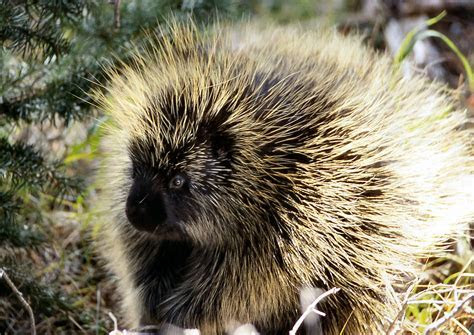 Porcupines' Prickly Quills Could Lead To Easier Injections : Shots   Health News : NPR