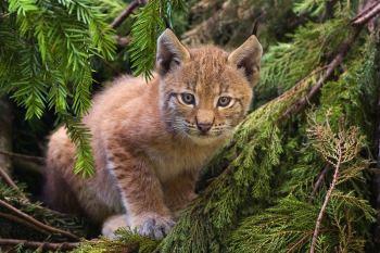 Canadian Lynx kitten