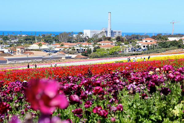 Flower Fields at Carlsbad Ranch, ranunculus