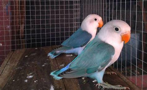 965 best Lovebirds images on Pinterest   Parrots, Budgies